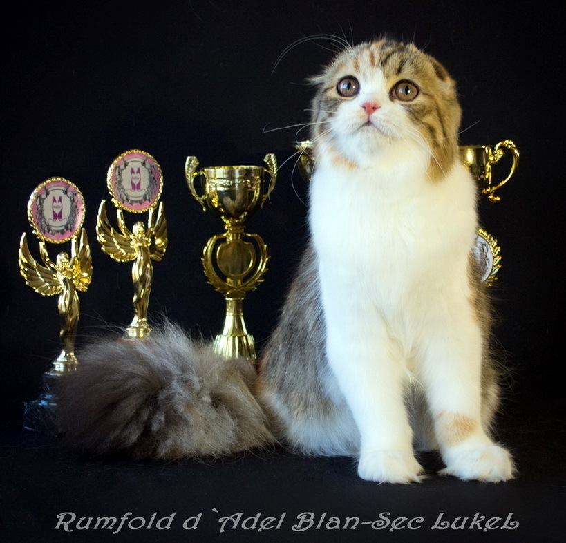CFA`s National Best of Breed Winner for 2016/2017 Grand champion CFA Rumfold d`Adel Blan-Sec LukeL